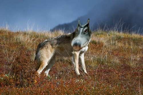 クチバシが「オオカミ」に見えるアヒルが発見される…たしかにそっくり!