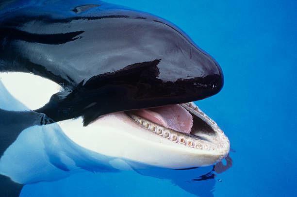 人食いサメより怖いシャチ 【海のギャング・海の王者】 - NAVER まとめ