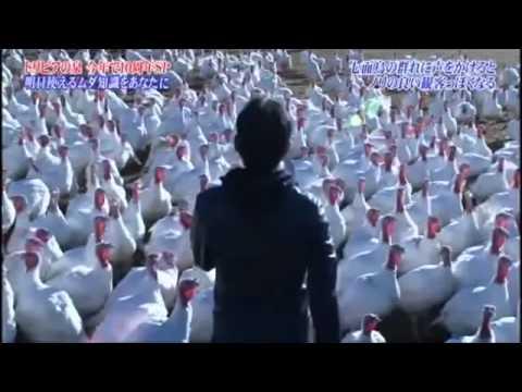 七面鳥の群れに声をかけるとノリのいい観客っぽくなる。トリビアの泉 - YouTube