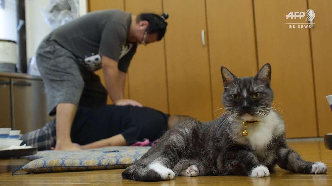 力士もデレデレ、相撲部屋のアイドル「猫親方」Sumo cat Moru comforts Tokyo wrestlers - YouTube