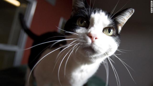 猫は最強の「殺し屋」?、毎年数百億の鳥やネズミが犠牲に 米研究