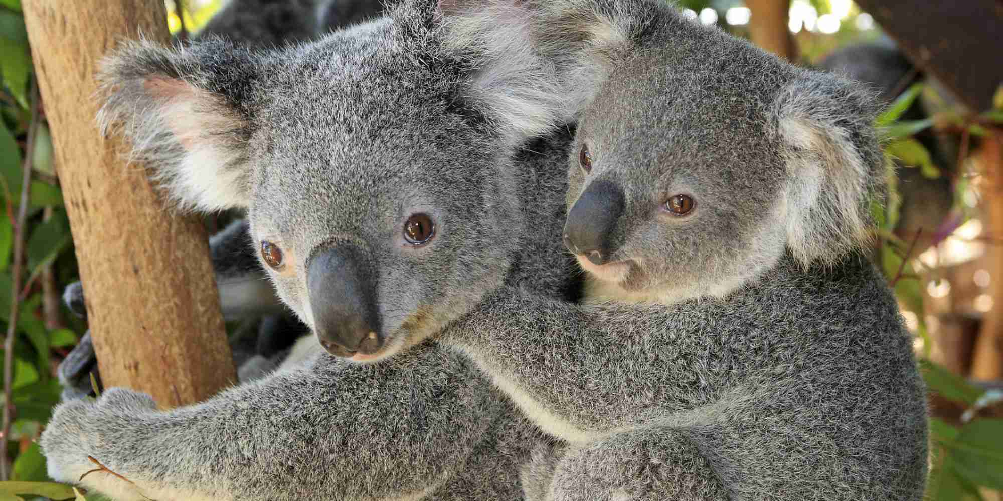 コアラ700頭、極秘で殺処分 オーストラリアの州政府