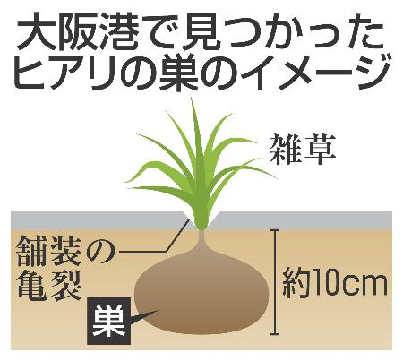 ヒアリ、東京港でさらに100匹以上 コンテナで確認