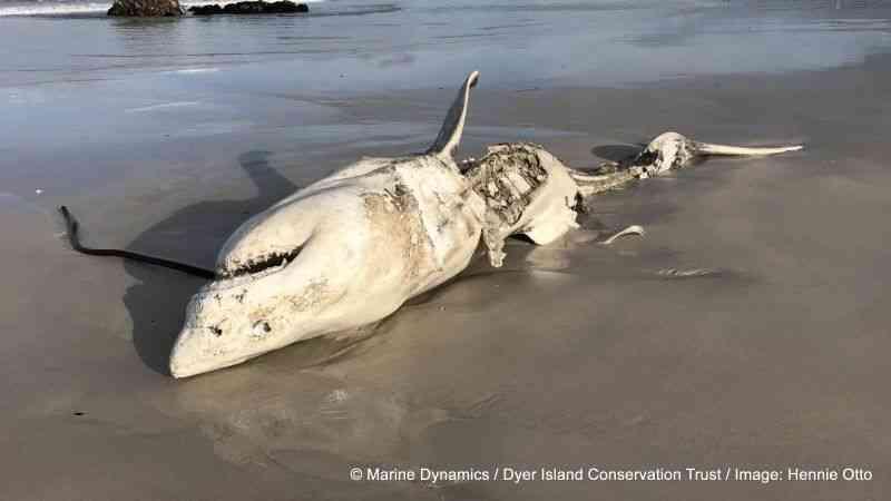 シャチがサメを食べまくる|ギズモード・ジャパン
