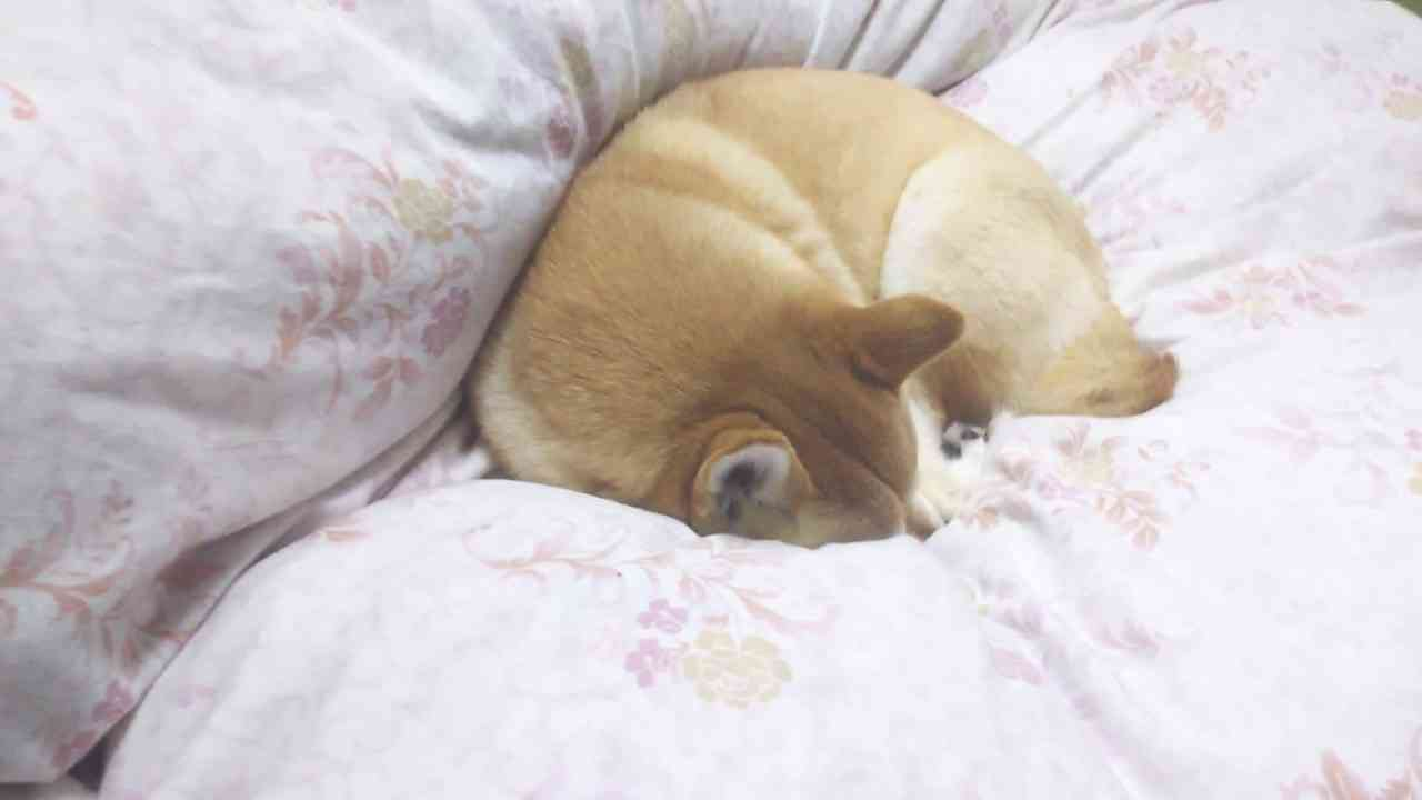 熟睡中、急に家族が帰ってきたときの柴犬 - YouTube