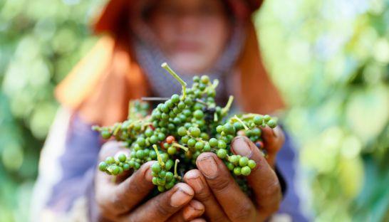 韓国系企業、世界最大規模の胡椒農園をカンボジアに設立予定 : 特亜まとめサイト