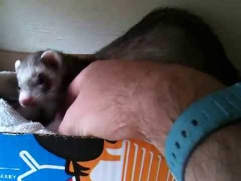 ferret with kits - YouTube