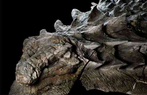 【動画あり】完全な姿をとどめた恐竜の化石がカッコよすぎると話題に!まるでファンタジーのドラゴン:はちま起稿