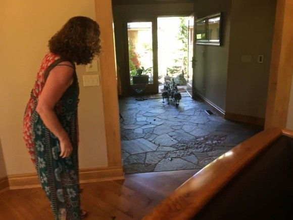 ちょっと通りますよっと!ガチョウが団体さんで家の中を横断する風景(アメリカ)