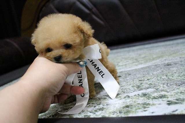 特選犬 超~スーパーマイクロサイズのプードル王子|セシル ママのブログ