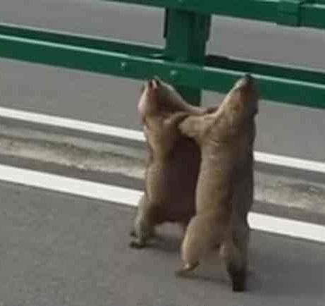 リスが路上でレスリングのような取っ組み合いの喧嘩