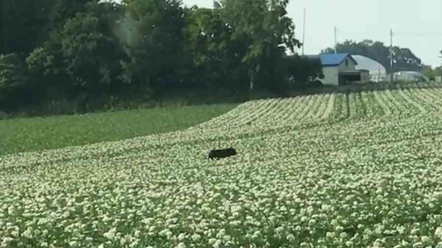 大麦畑を泳ぐように駆けるヒグマ 網走で撮影 「ここまで大きいとは」