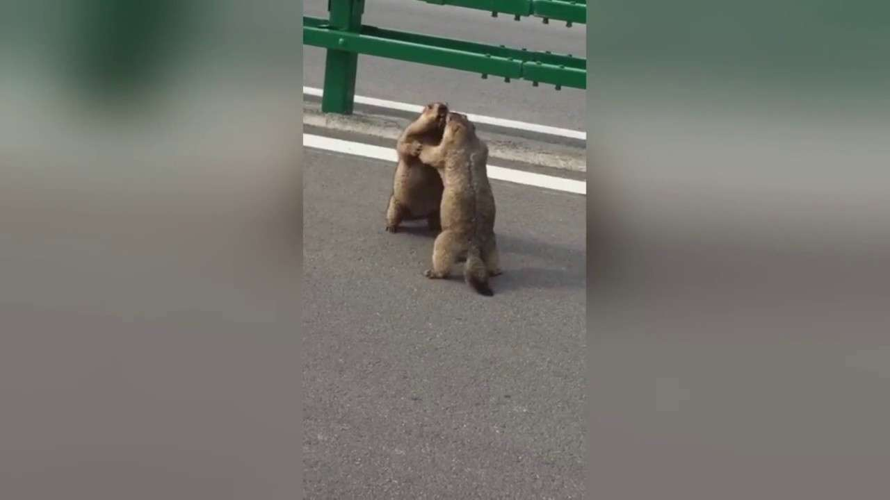 Massive Squirrels have 'Road Rage' Battle on the Road - YouTube