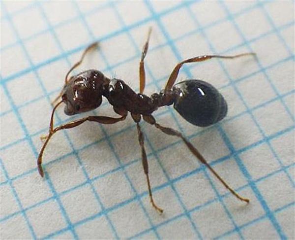【強毒アリ】「このアリはヒアリでは」…問い合わせ集中 環境省、冷静な対応を求める - 産経ニュース