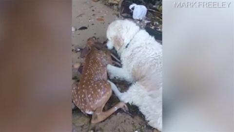 犬が海で溺れていた子鹿を救助(TBS系(JNN)) - Yahoo!ニュース