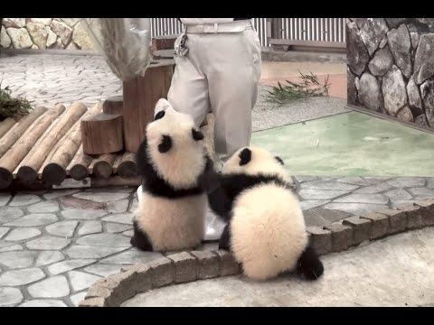 【あそんで~ッ♪】パンダの桜浜&桃浜☆お掃除おじゃま虫♪ Giant panda baby -Ouhin&Touhin- - YouTube