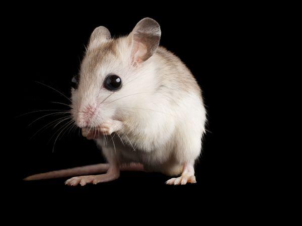 実験動物、男性の匂いでストレス | ナショナルジオグラフィック日本版サイト