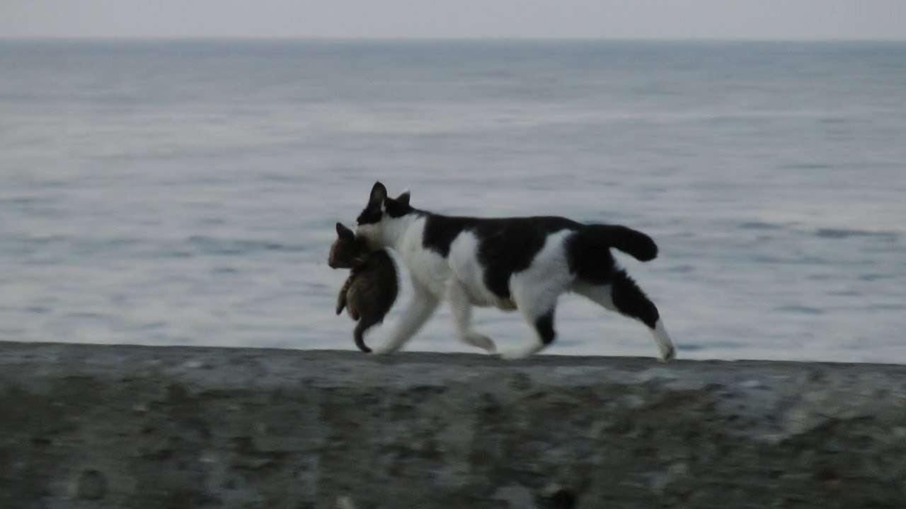海辺を歩くネコの親子 Seaside kitten and mother cat (HD) - YouTube