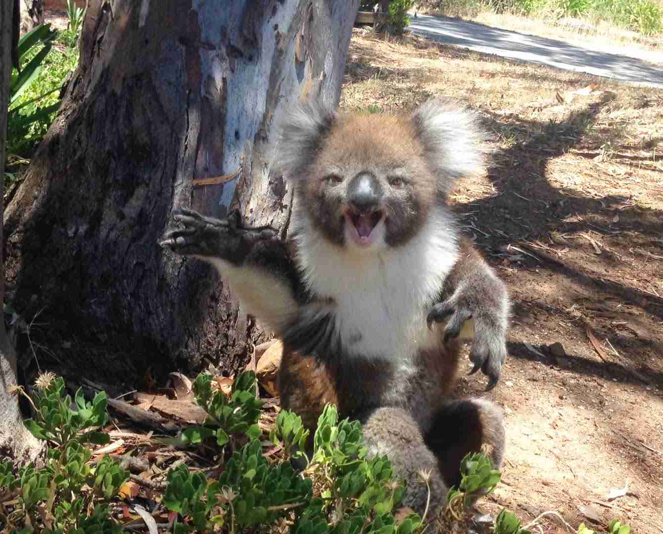 Koala Gets Kicked Out Of Tree and Cries! - YouTube