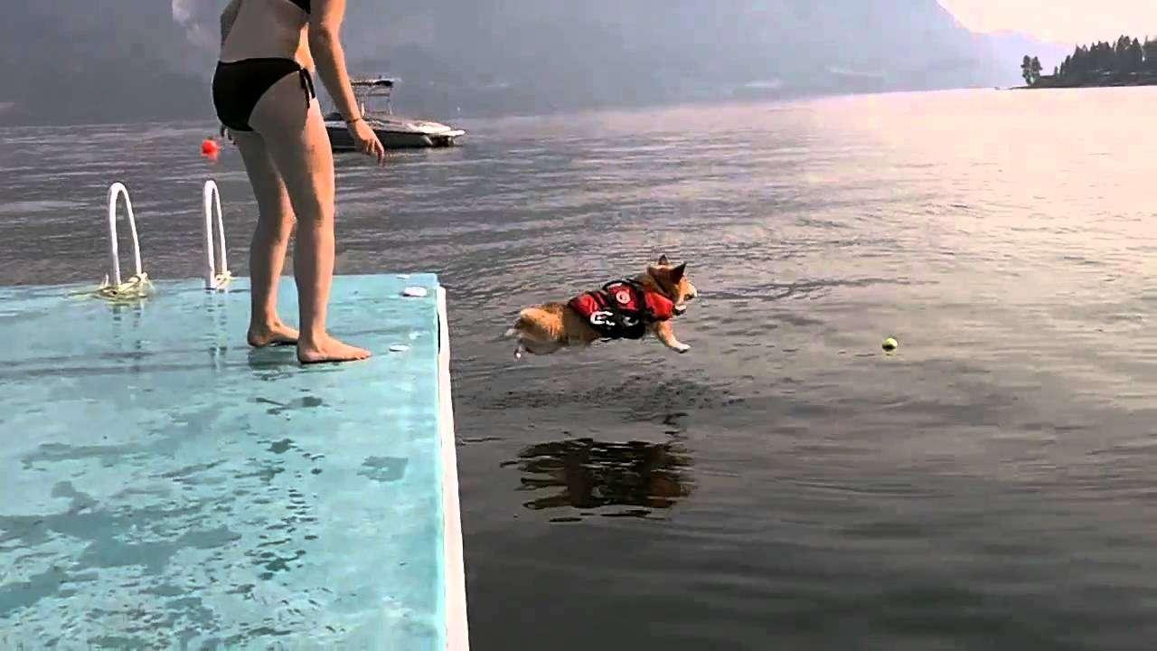 勇気を出して水に飛び込むも、腹打ちするコーギーが最強に可愛い - YouTube