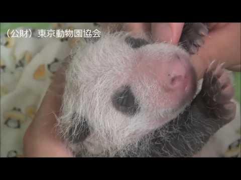 上野動物園 赤ちゃんパンダ - YouTube
