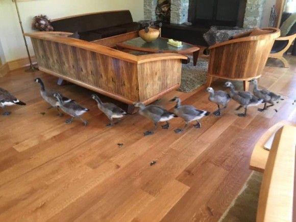 ちょっと通りますよっと!ガチョウが団体さんで家の中を横断する風景(アメリカ) : カラパイア