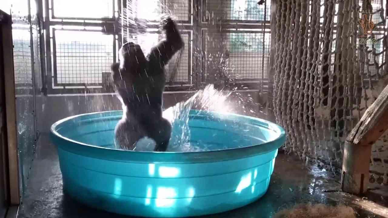 Breakdancing Gorilla Enjoys Pool Behind-the-Scenes - YouTube