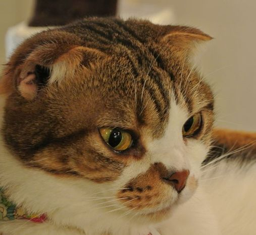 折れ耳で人気の猫「スコティッシュ」 繁殖は動愛法に抵触 (sippo) - Yahoo!ニュース
