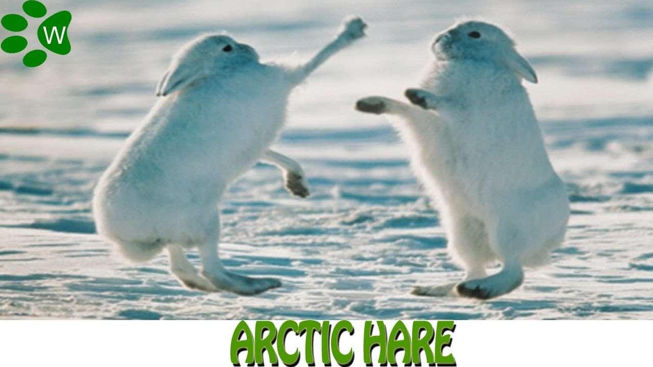 Arctic Hare - YouTube