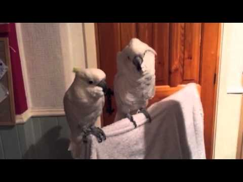 Rock & Roll Cockatoos - YouTube