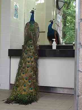 どことなく漂う気品 多摩動物公園の放し飼いクジャクが男子トイレに参上