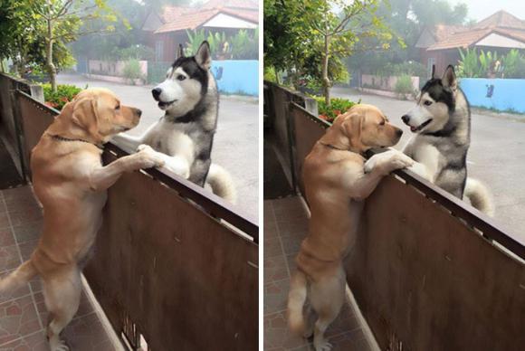 「うちの飼い主またいない…」寂しきハスキー犬を壁越しで慰め続けていたのは、隣の家のラブラドール・レトリバーだった。