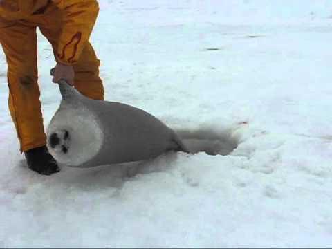 溺れたタテゴトアザラシの赤ちゃんを救出 - YouTube