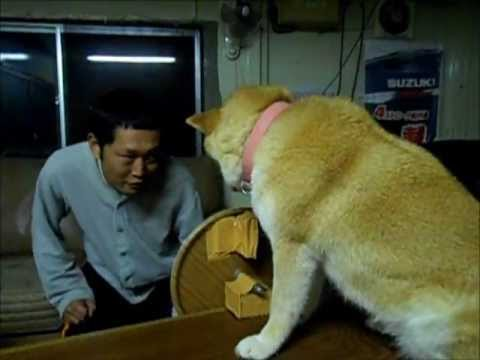 柴犬の拒む瞬間5連パチューー 5 running fire that a dog refuses - YouTube