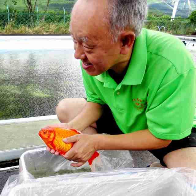 金魚、生き延びていた 熊本地震以来、プールから救出:朝日新聞デジタル