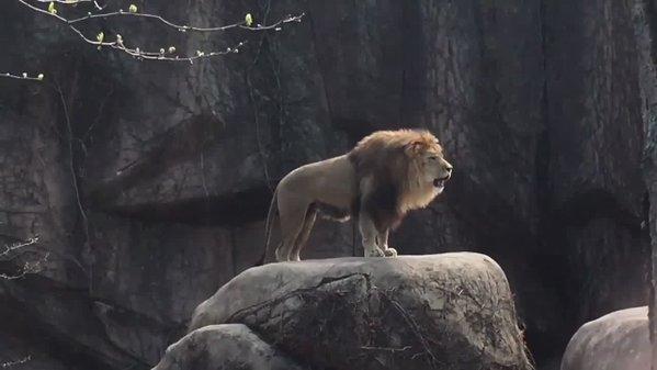 ライオン: ガオー トラ: ガオー ジャガー: ガオー ヒョウ: ガオー ユキヒョウ: ニャー ピュ… |PodoronさんのTwitterで話題の画像
