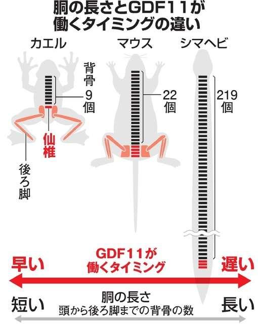 「胴の長さ」の違い、たんぱく質で決まる 名古屋大など解明