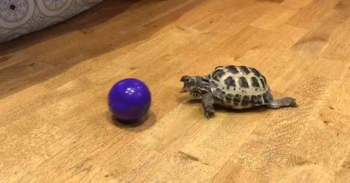 Turtle Loves Playing With His Ball - Videos - The Dodo