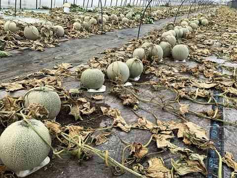 【胸糞】メロン農家、収穫間近のメロン6600個に除草剤を撒かれて収穫不能になる:ふぇー速