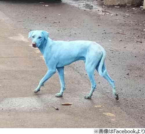 インドのムンバイで「青い犬」何頭も発見される 汚染水が原因か
