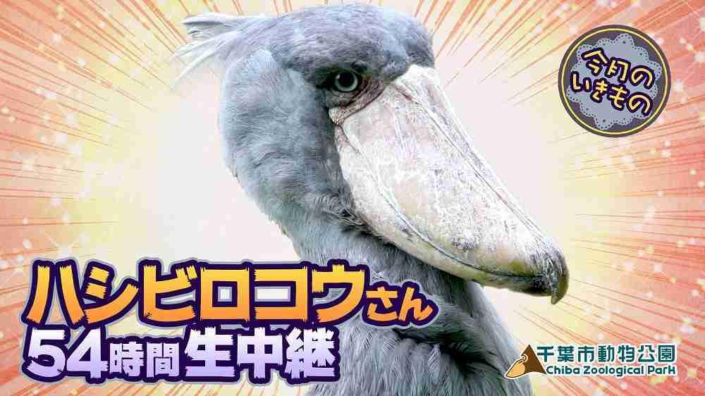 動かない鳥「ハシビロコウ」をまさかの54時間観察生中継!