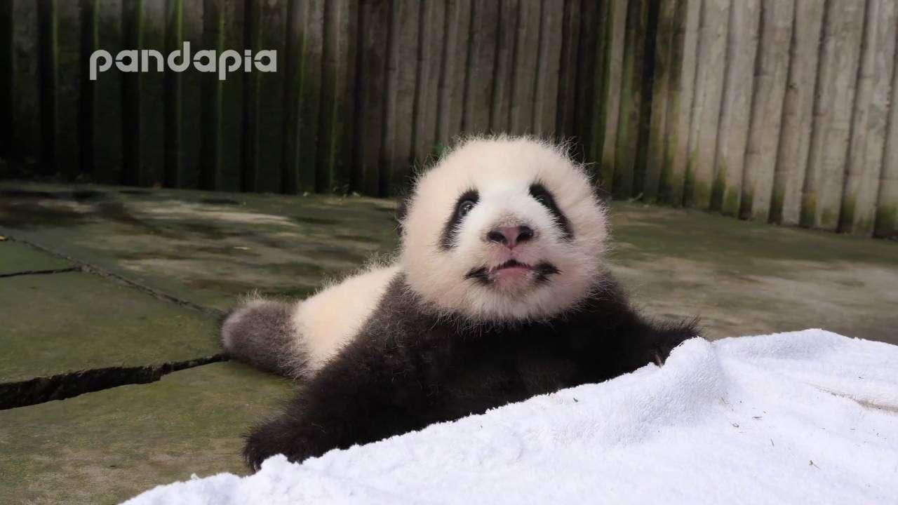 Panda baby's crying voice - YouTube