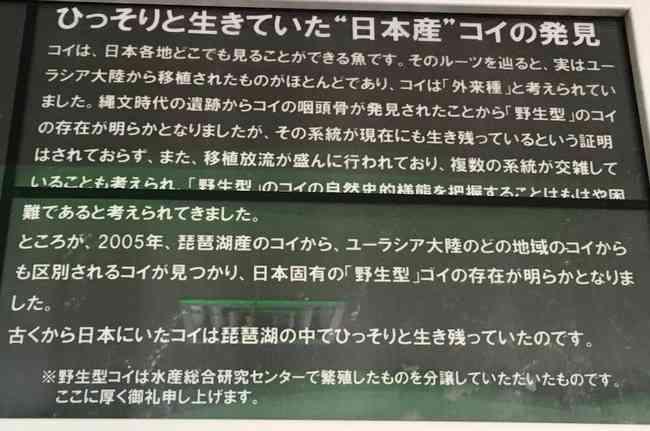 【琵琶湖】日本の在来種コイが見つかるまでの経緯wwwwwww - 億ったー