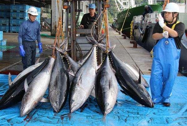 日本、北太平洋海域のクロマグロ規制強化へ 資源の状況で自動的に漁獲制限する仕組みを提案 - 産経ニュース