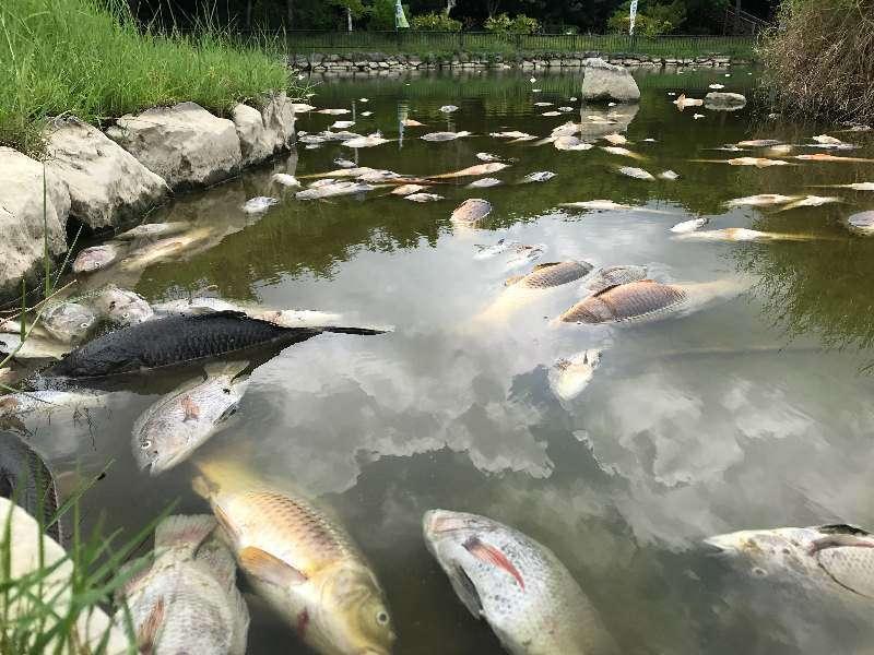「こんな恐ろしい光景を見たことない…」 公園のコイ千匹以上が大量死 沖縄で猛暑が原因か | 沖縄タイムス+プラス ニュース | 沖縄タイムス+プラス