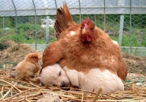 愛知県の養鶏場で火事 ニワトリ約10万羽が死ぬ