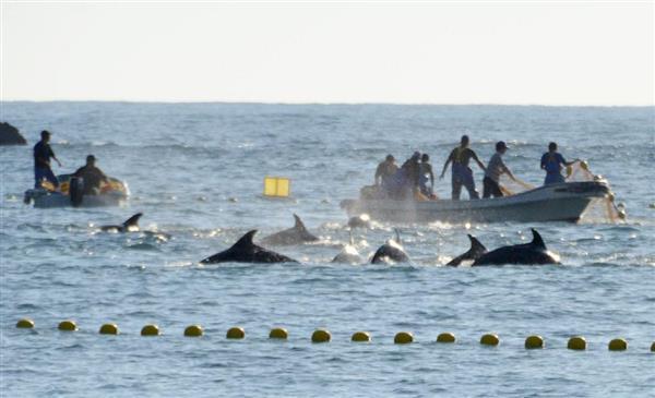 捕鯨継続に和歌山太地町、フェロー諸島と姉妹都市に イルカ追い込み漁への国際圧力「もはや看過できないレベル」反転攻勢へ(1/2ページ) - 産経WEST
