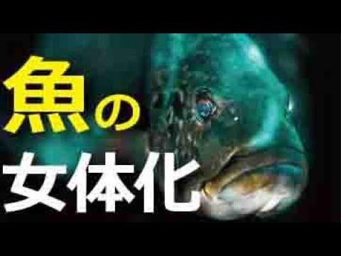 魚たちの女性化について - YouTube