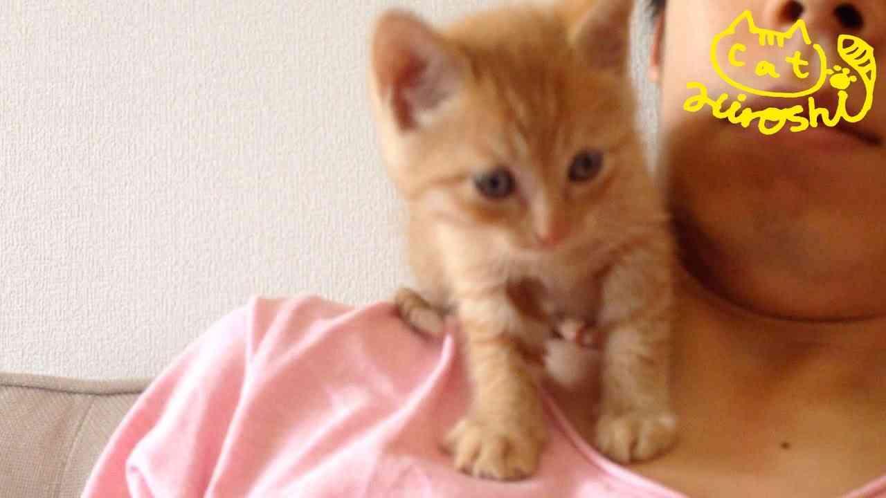 茶トラ子猫「ひろし」顔近い近~~い! 肩の上が好きみたい↑ Cute Cat Hiroshi on my shoulder - YouTube