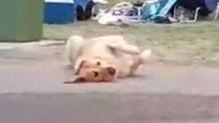 散歩が終わるのが嫌で死んだフリする犬 最終的に飼い主が勝ち周りから拍手喝采!